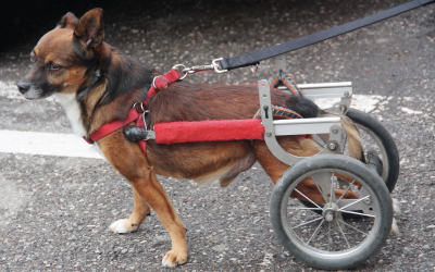 Treating Degenerative Myelopathy with Laser Therapy